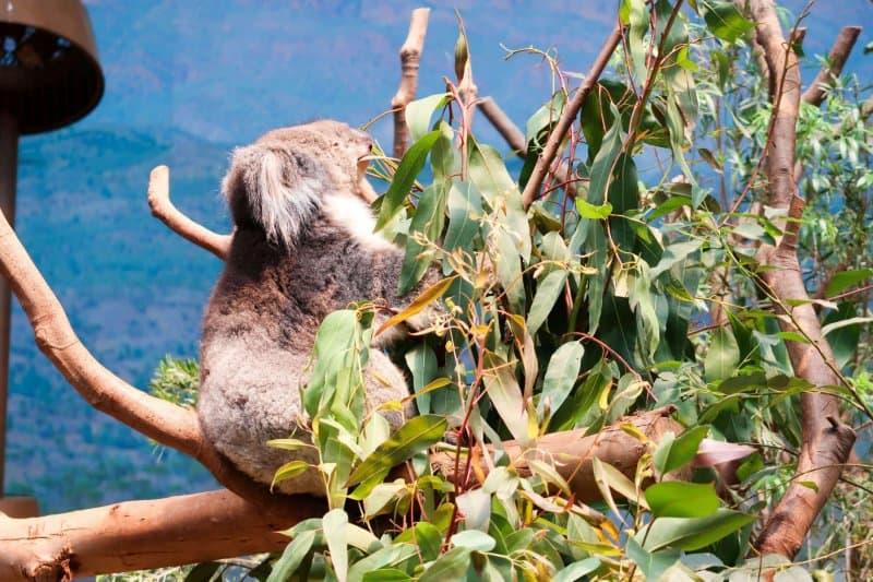 Ocean Park Hong Kong Real Koala