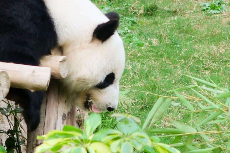 Ocean Park Hong Kong Real Panda