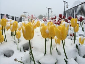 Tulips Covered in Snow in Tokyo DisneySea