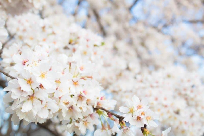 Cherry Blossoms Sakura Tokyo
