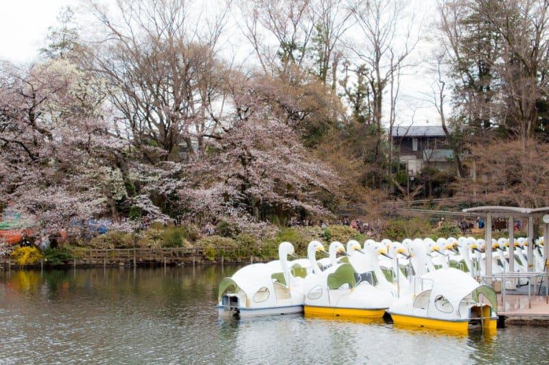 Inokashira Park Kichijoji Sakura