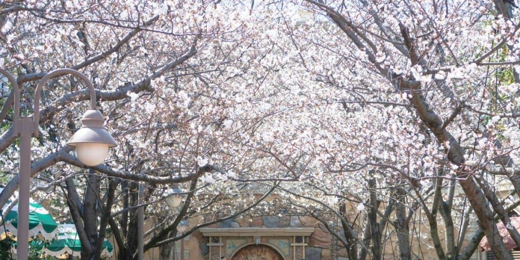 Where to find Sakura (Cherry Blossoms) at Tokyo Disney Resort