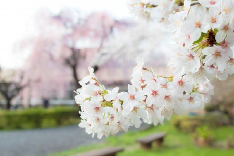 Sakura Tokyo Bench (Tokyo Cherry Blossom Guide)