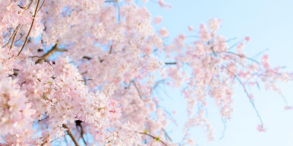 Tokyo Cherry Blossom Guide 2019: Best Spots & Travel Tips