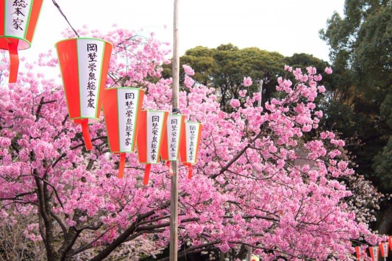 Ueno Park Sakura Cherry Blossoms