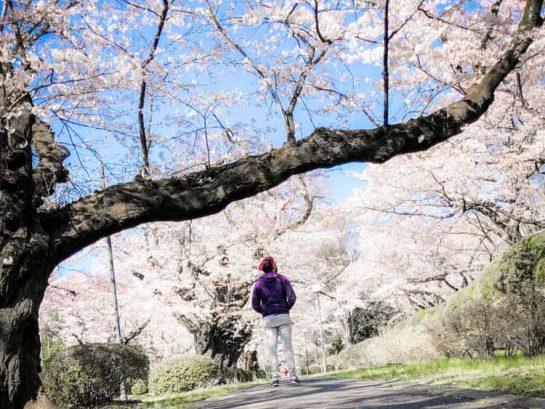 TDRExplorer Sakura Cherry Blossoms